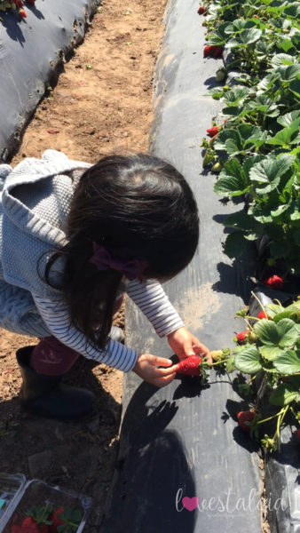 Strawberry tour at Tanaka Farms in March.